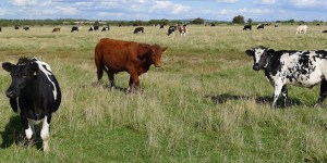 cattle beef production statistics