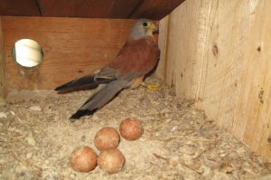 Falco-Grillaio