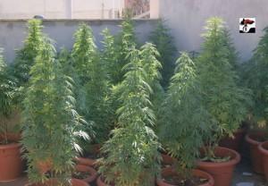 Le piante di marijuana trovate nell'appartamento a Terlizzi