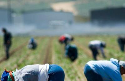 Immigrati impegnati nei campi per la raccolta del pomodoro (ST - laterratrema.org)