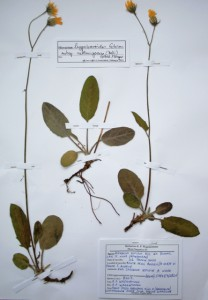 Hieracium hypochoeroides subsp. sublanigerum (Monte degli Angeli, Gargano)