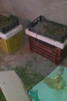 laboratorio di marijuana a Zapponeta (4)