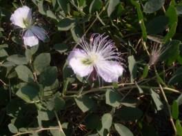 Capperi in fiore