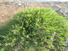 Grossa pianta di cappero in zona Palazzetto dello Sport-Scaloria