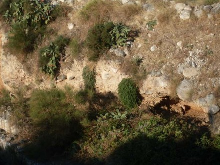 Piante di Capperi nel vallone di Pulsano