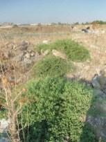 Piante di capperi in zona Palazzetto dello sport-agro sipontino