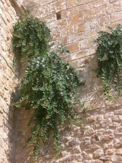 Piante di capperi sulle mura dell'Abbazia di Pulsano