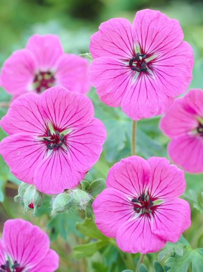 Geranium cinereum varsubcaulescens Splendens  Grauer GartenStrochschnabel gnstig kaufen