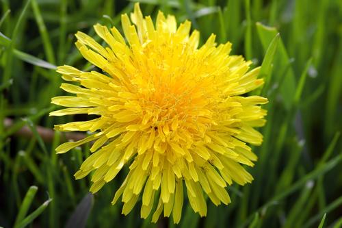 dandelion-bsp
