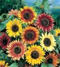 Autumn Beauty Sunflower - St. Clare Heirloom Seeds