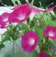 Crimson Rambler Morning Glory - St. Clare Heirloom Seeds