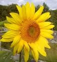 Mammoth Grey Stripe Sunflower - St. Clare Heirloom Seeds