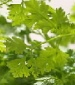 Chervil Herb - St. Clare Heirloom Seeds