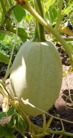 Squash, Winter - Organic Vegetable Spaghetti - St. Clare Heirloom Seeds