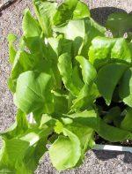 Lettuce, Head - Buttercrunch - St. Clare Heirloom Seeds