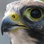 Peregine Falcon
