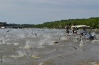 Silver Carp (Photo courtesy Asian Carp Regional Coordinating Committee)