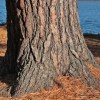 White pine on the banks of the St. Croix River