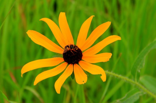 "1st Place, Youth - AJ Wall ""Bee on Black Eyed Susan"""