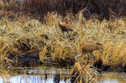 Sandhill cranes, Crex Meadows - March 21, 2012