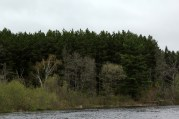 Red pine plantations = bad for birds