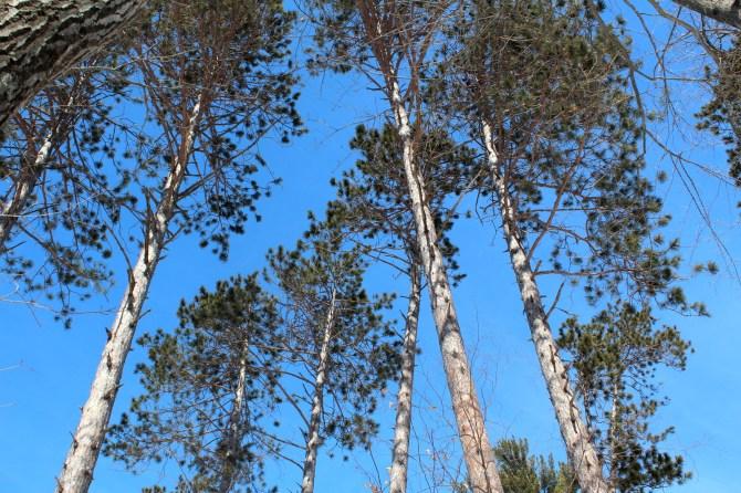 Red pines reaching