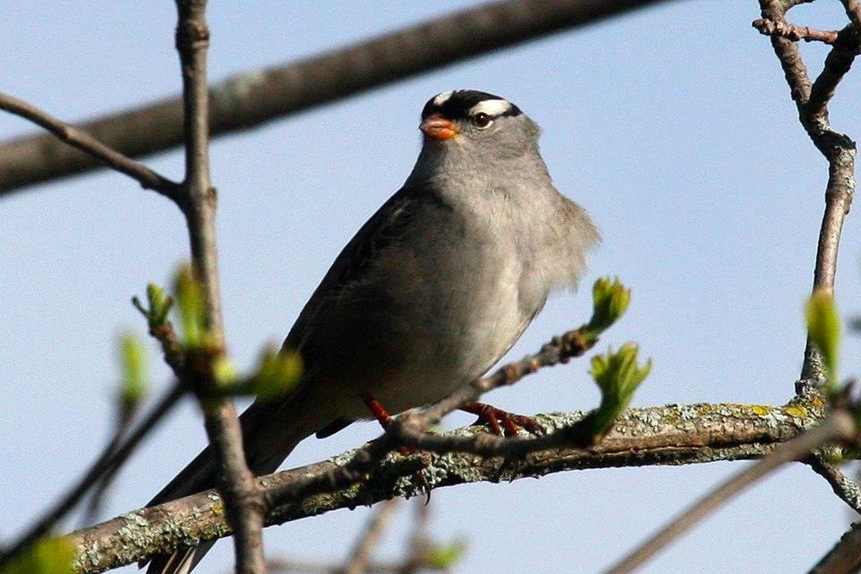 white-crowned-sparrow-wrsp