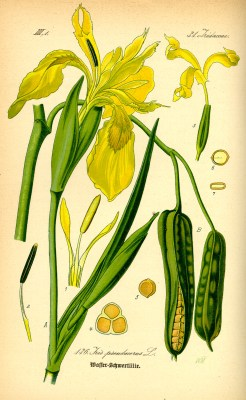 Yellow iris illustration