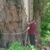 St. Croix Valley tree is officially the biggest of its kind in the country
