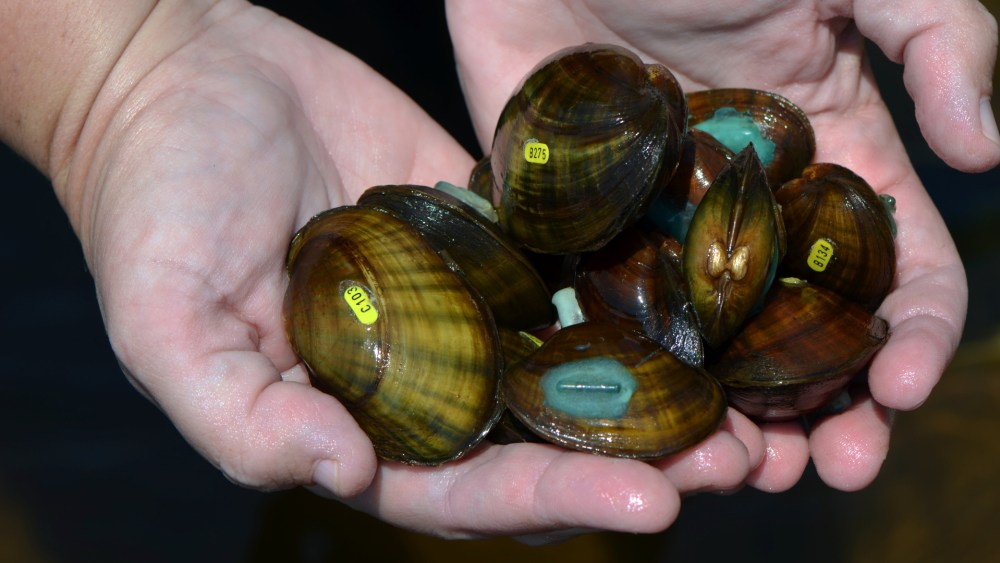 Critically endangered Higgins eye pearlymussels.