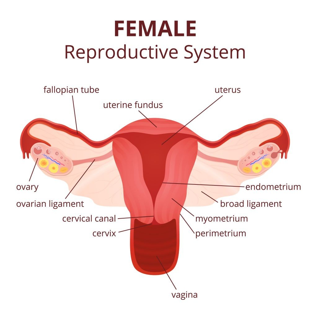 medium resolution of several females complain about ovary pain during different phases of their life this condition can arise due to several causes like tumors etc