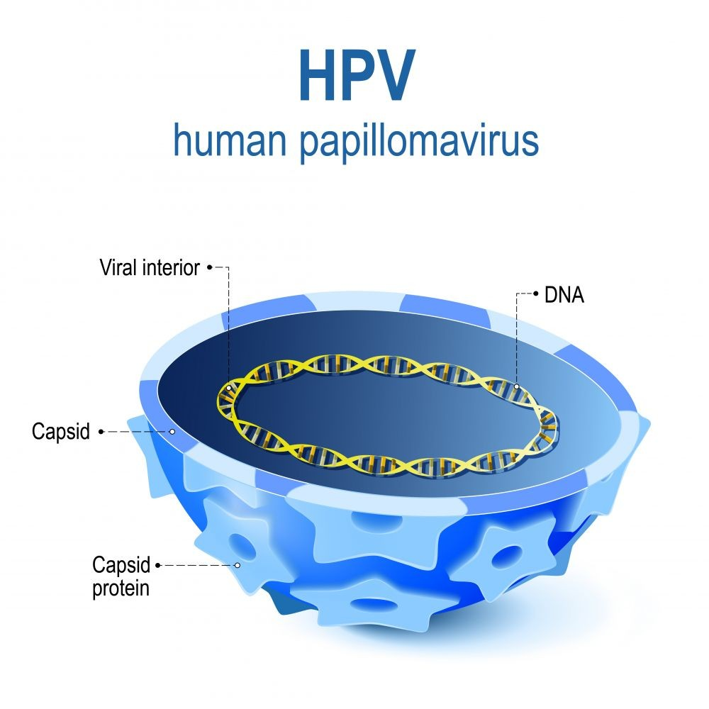 medium resolution of vector illustration of viral interior cross section of capsid papillomavirus with viral dna hpv is a infection which causes warts and cervical cancer