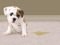 Pet Odor From Carpet - Carpet Ideas