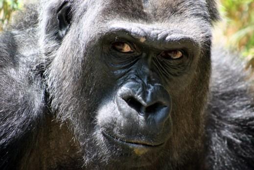 gorilla invisibile attenzione
