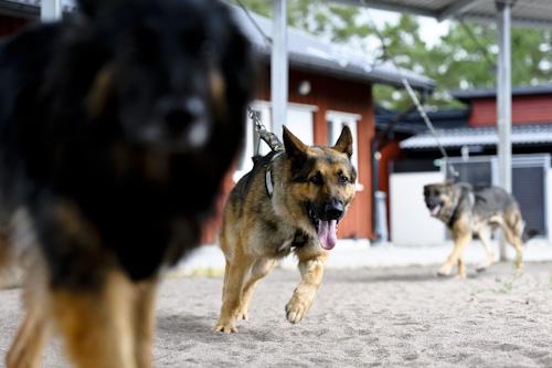 FHTE, träning av schäferhundar. Fotograf Stefan Tell