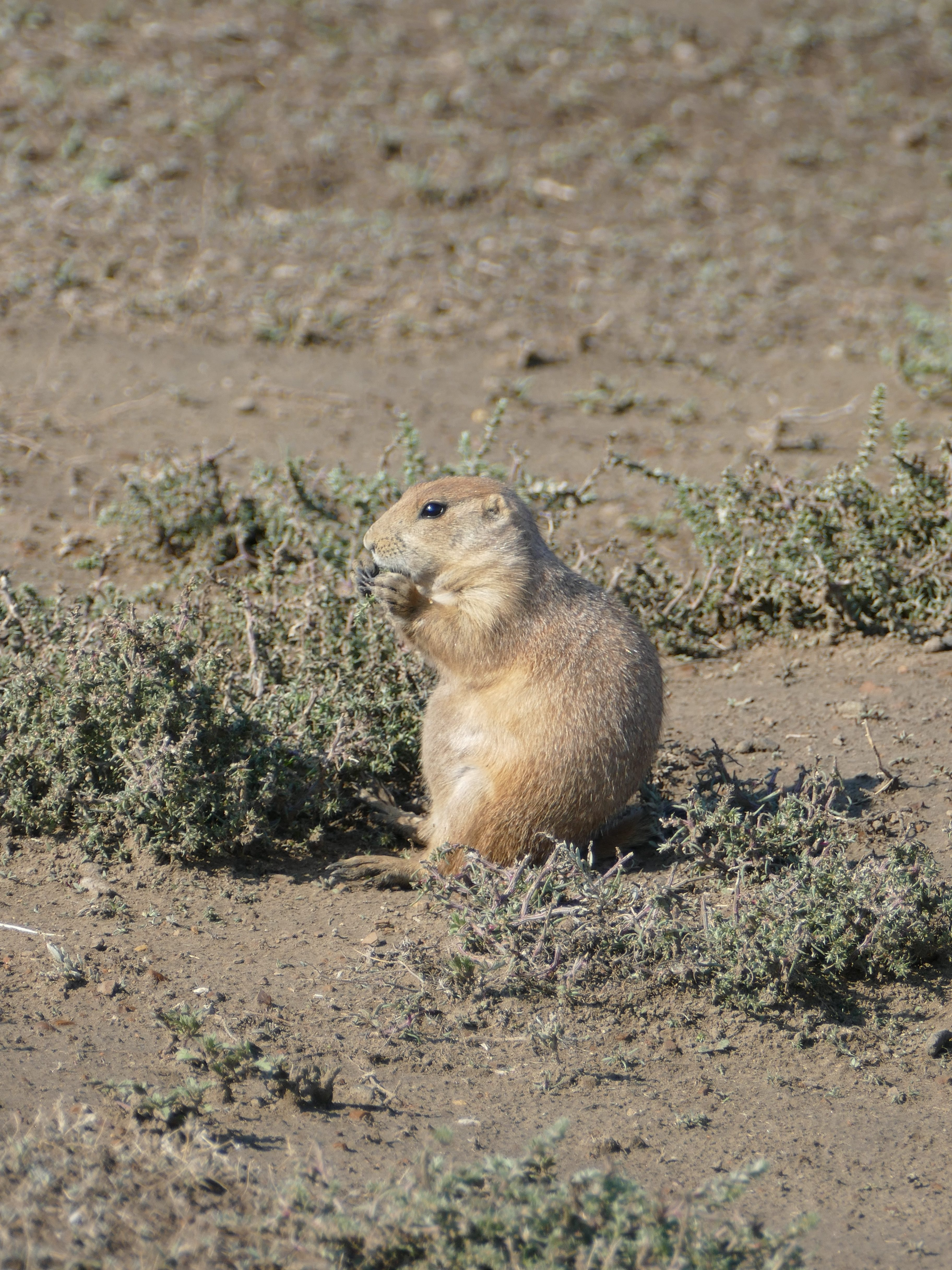 Prairie Dog im Theodore Roosevelt Nationalpark