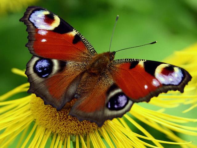 fluturas de primavara