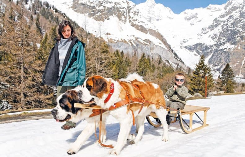 sanie trasa de câini Saint Bernard