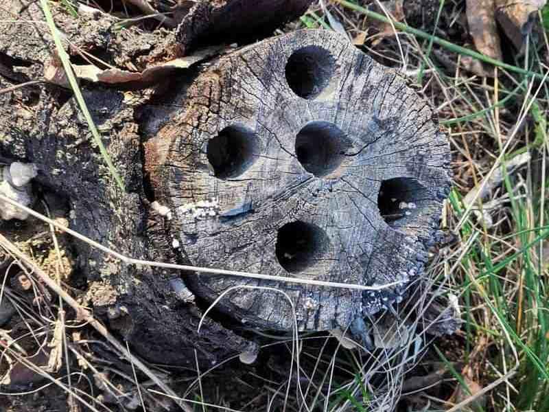 radacina de prun