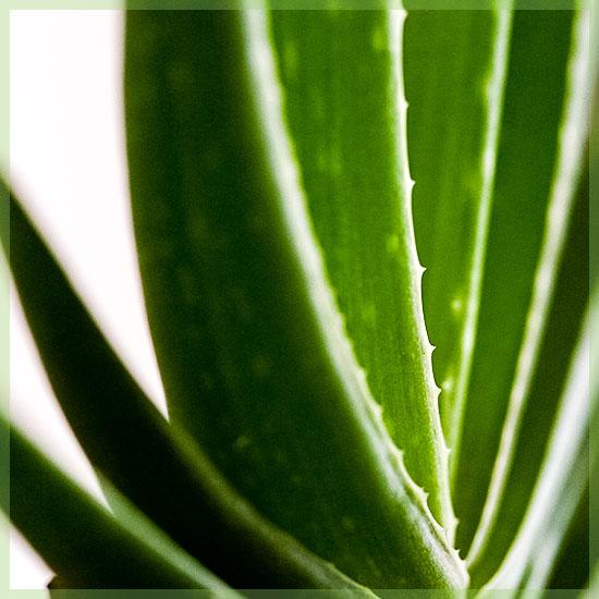 Aloe vera stejkes
