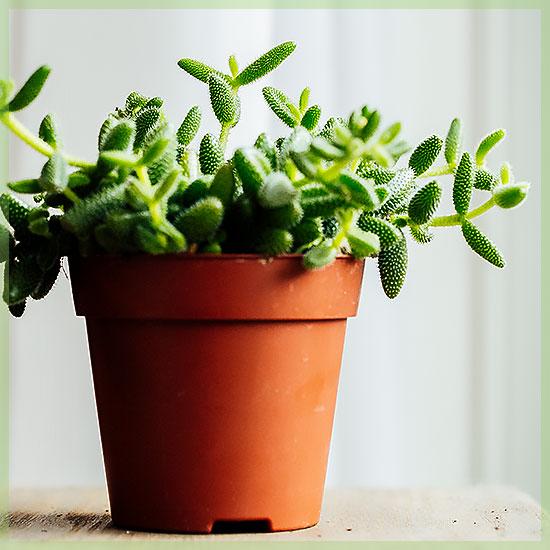 Augurkenplantje Delosperma echinathum