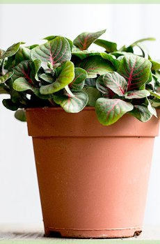 Fittonia verschaffeltii - Mozaïekplantje groen pink bladeren