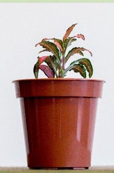 Fittonia verschaffeltii - Mozaïekplantje Roze bladeren