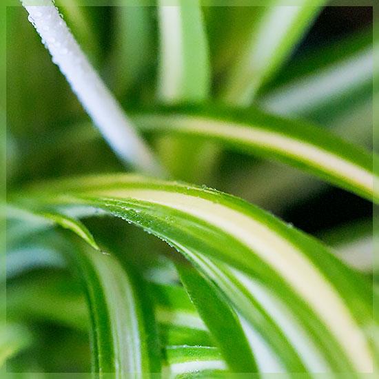 Graslelie chlorophytum comosum
