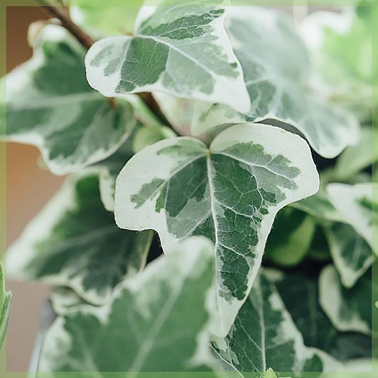 hedera helix white wonder variegata pot 6cm