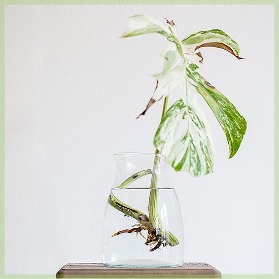 Monstera deliciosa variegata - Stekjesbrief