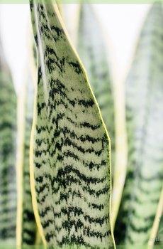 Sansevieria trifasciata laurentii - Vrouwentong kopen
