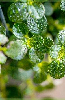 Slaapkamergeluk (Soleirolia soleirolii) Groen