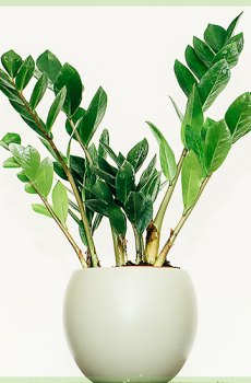 Zamioculcas Zamiifolia Easy Care kamerplant