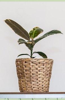 Ficus tineke kamerplanten